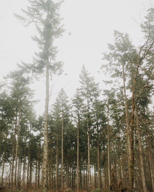 Безкоштовне стокове фото на тему «високі дерева, дерева, навколишнє середовище, сосни»