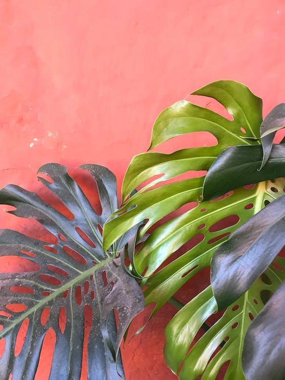 monstera deliciosa, завод, зеленые листья