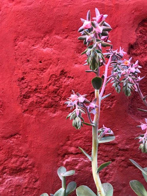 仙人掌, 多肉植物, 粉紅色, 紅色 的 免费素材照片