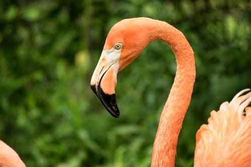Ilmainen kuvapankkikuva tunnisteilla flamingo