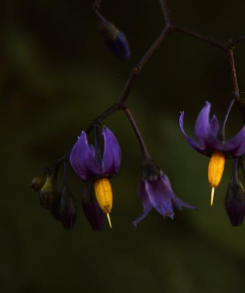 Бесплатное стоковое фото с паслен, природа, пурпурный, темный