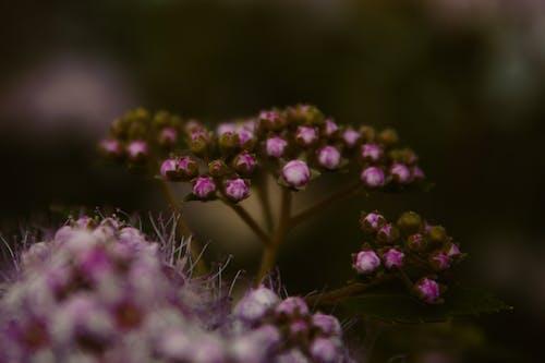 Бесплатное стоковое фото с красивая, пурпурный, цветок