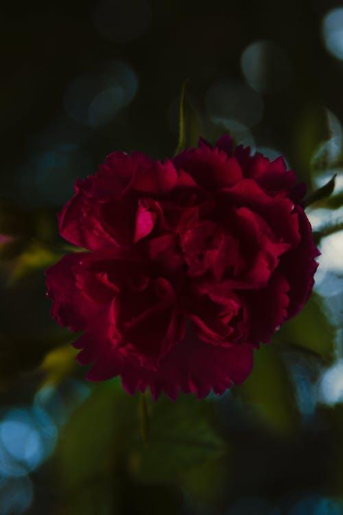 Бесплатное стоковое фото с Красная роза, роза, Розовая роза, розы