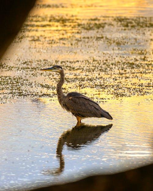 balıkçıl, sabah ışığı, yansıma içeren Ücretsiz stok fotoğraf