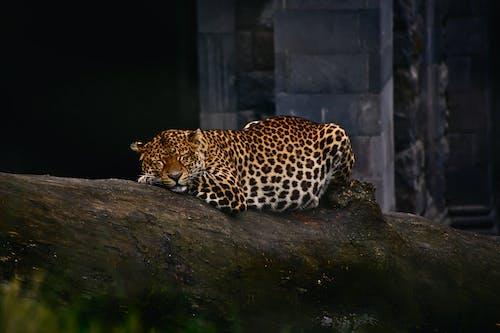 ジャガー, トラ, ネコ, ヒョウの無料の写真素材