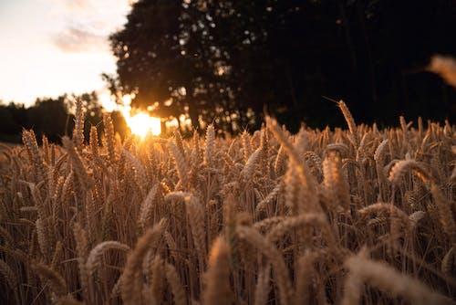 Foto d'estoc gratuïta de blat, camp de blat, camp de blat de moro, camp de panís