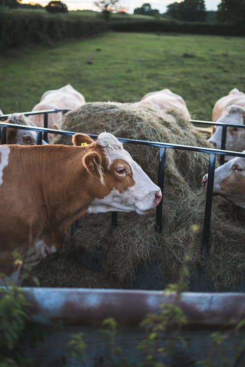 Бесплатное стоковое фото с домашний скот, животные, за городом, коровы