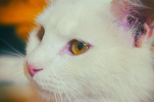 Gratis lagerfoto af ansigtskat, kat, katte, katteansigt