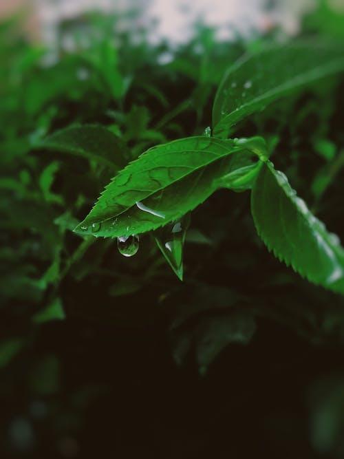 Бесплатное стоковое фото с выборочный фокус, зеленые листья, капли воды, капли дождя