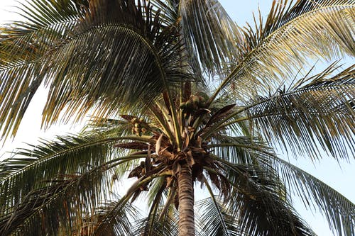 Close-Up Photo Of Coconut Tree