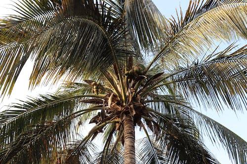 Fotos de stock gratuitas de afuera, al aire libre, árbol, coco