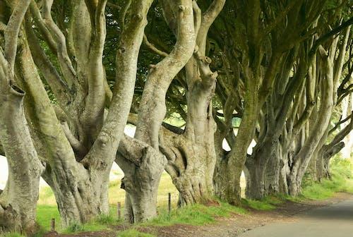 Free stock photo of birch, dark hedges, trees