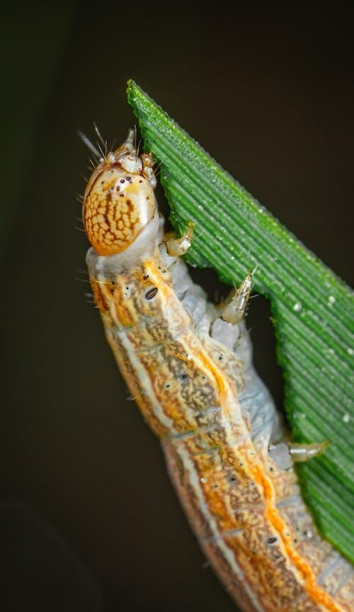 Immagine gratuita di caterpillar, insetto, macro