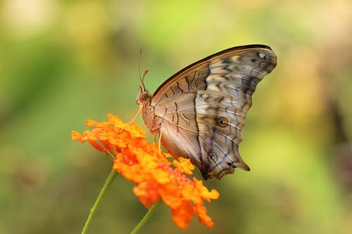 Grey Butterfly Perching on Orange Petal Flower