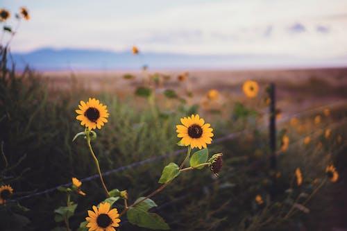 Free stock photo of cowboy, dusk, fence, flower