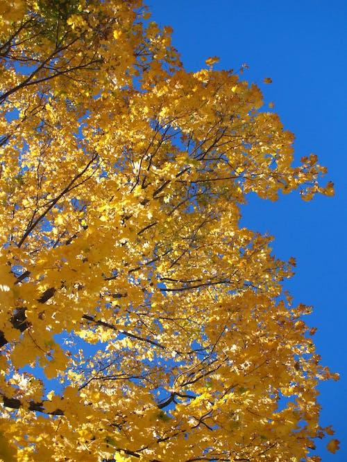 Imagine de stoc gratuită din boston, cădere, cer albastru, frunze galbene