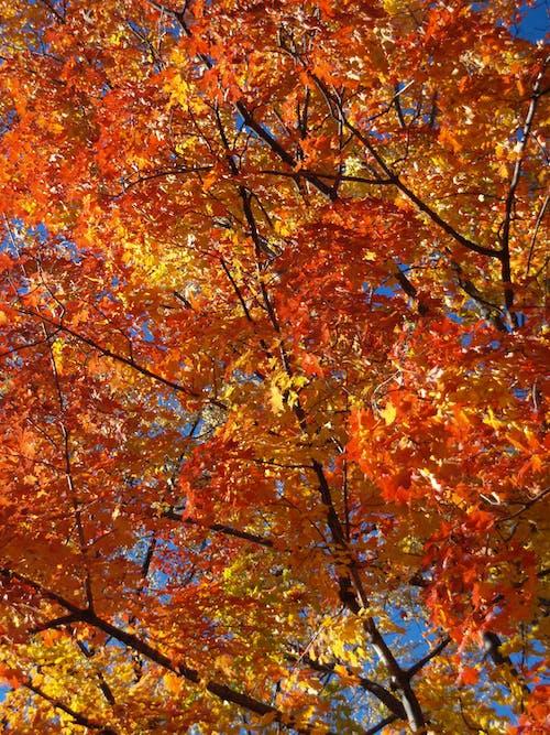 Imagine de stoc gratuită din boston, cădere, frunze, frunze de toamnă