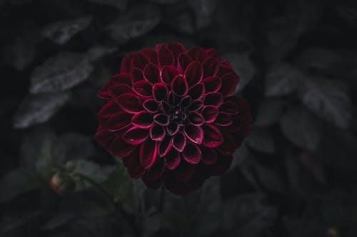 Free stock photo of beautiful flower, blurred, dark