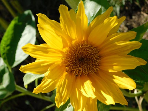 特写向日葵 的 免费素材照片