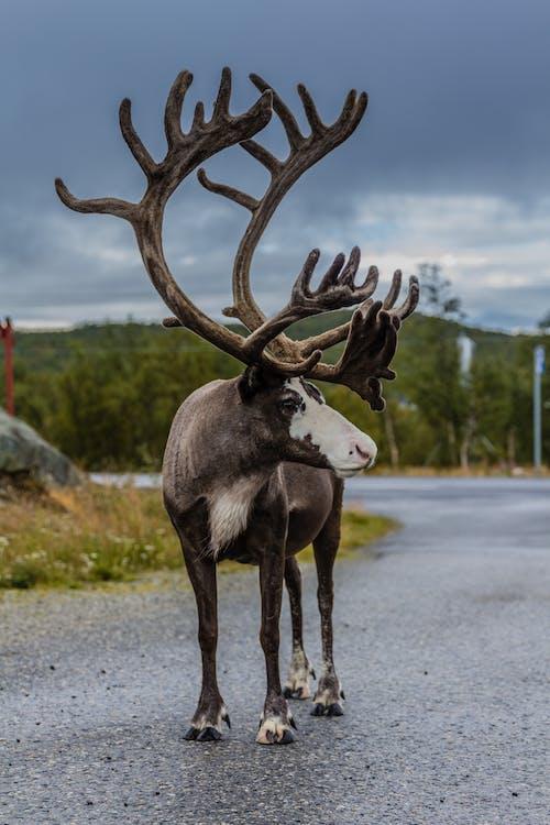 Foto profissional grátis de aniaml, Finlândia, rena, selvagem