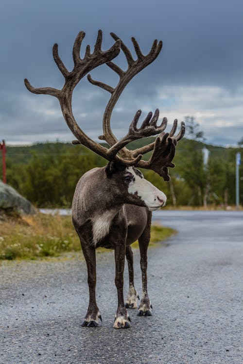Gratis arkivbilde med aniaml, dyreliv, Finland, reinsdyr