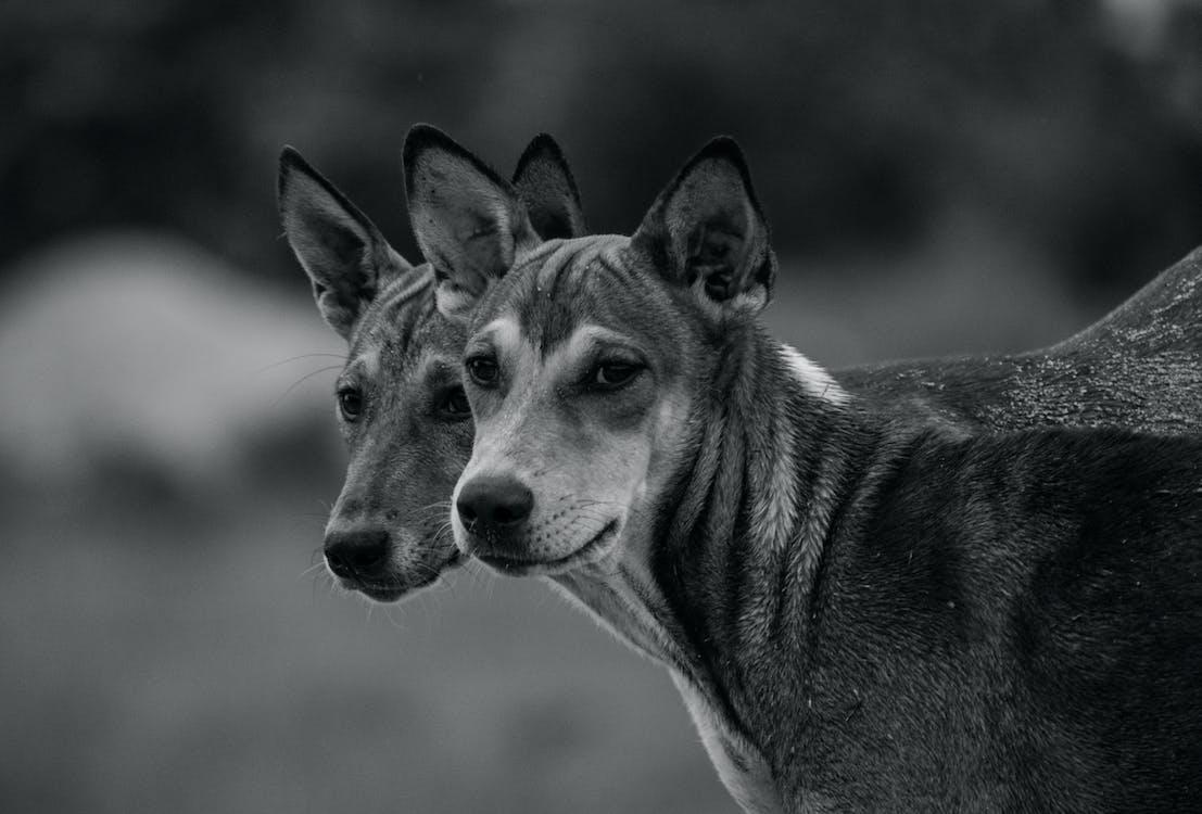 ілюзія, монохромні фотографії, собаки