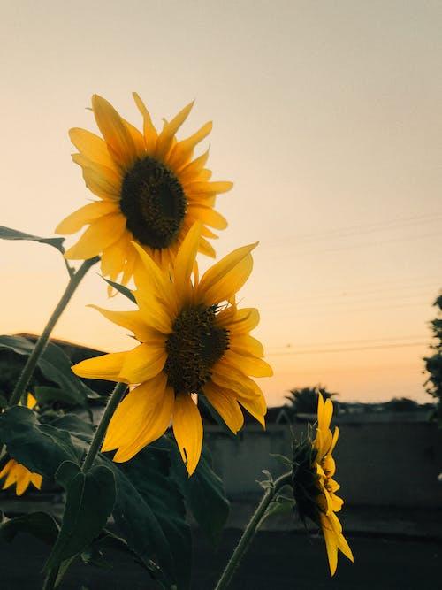 Foto stok gratis bagus, berkembang, bidang, bunga kuning