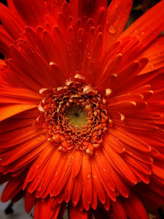 bengaluru, blomst, blomstrende