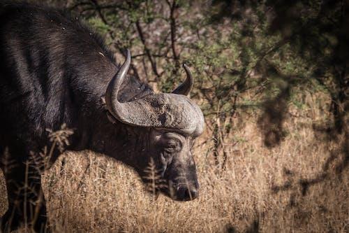 bufalo, doğa, Doğa Ana, doğa fotoğrafçılığı içeren Ücretsiz stok fotoğraf