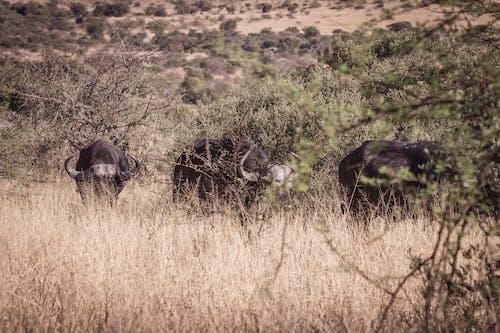 bufalolar, doğa, Doğa Ana, doğa fotoğrafçılığı içeren Ücretsiz stok fotoğraf