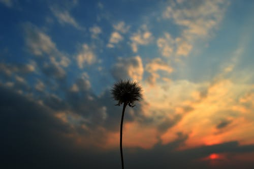 Free stock photo of clouds, dandelion, dry dandelion