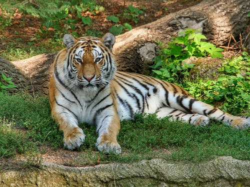 Photo of Tiger Lying on Grass