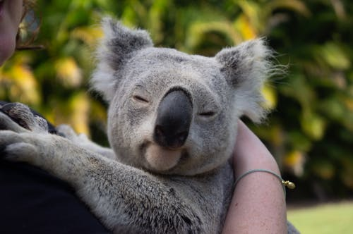 Person Carrying Closed Eyed Koala