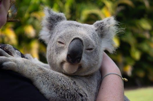 Touch a koala