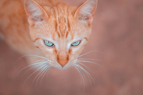 Free stock photo of cat, cat eye, cat face, cat's eyes