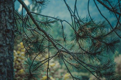 Ilmainen kuvapankkikuva tunnisteilla havupuinen, havupuut, ikivihreä, kauneus luonnossa