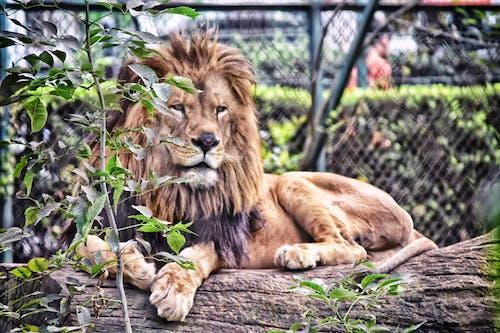 동물, 동물원, 멋진, 사자의 무료 스톡 사진