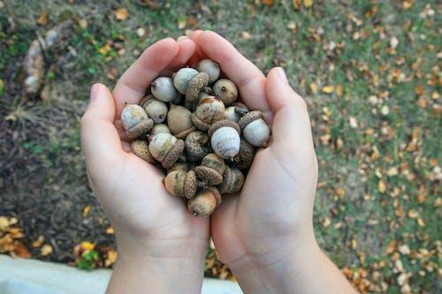 Free stock photo of acorns, autumn, autumn leaves, child's hand