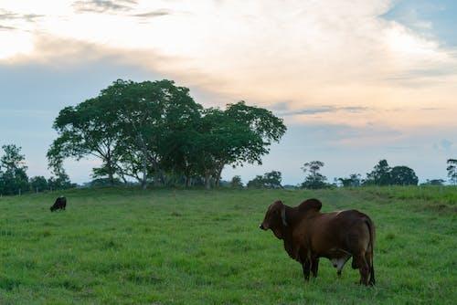 Foto profissional grátis de gado