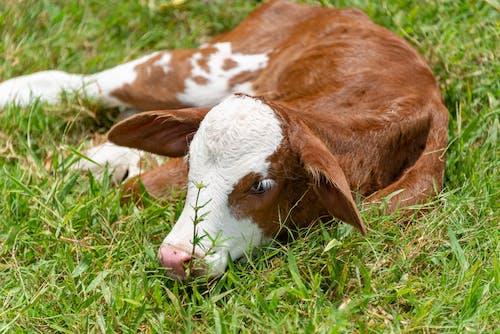 Ilmainen kuvapankkikuva tunnisteilla eläin, karja, kotieläin, lehmä