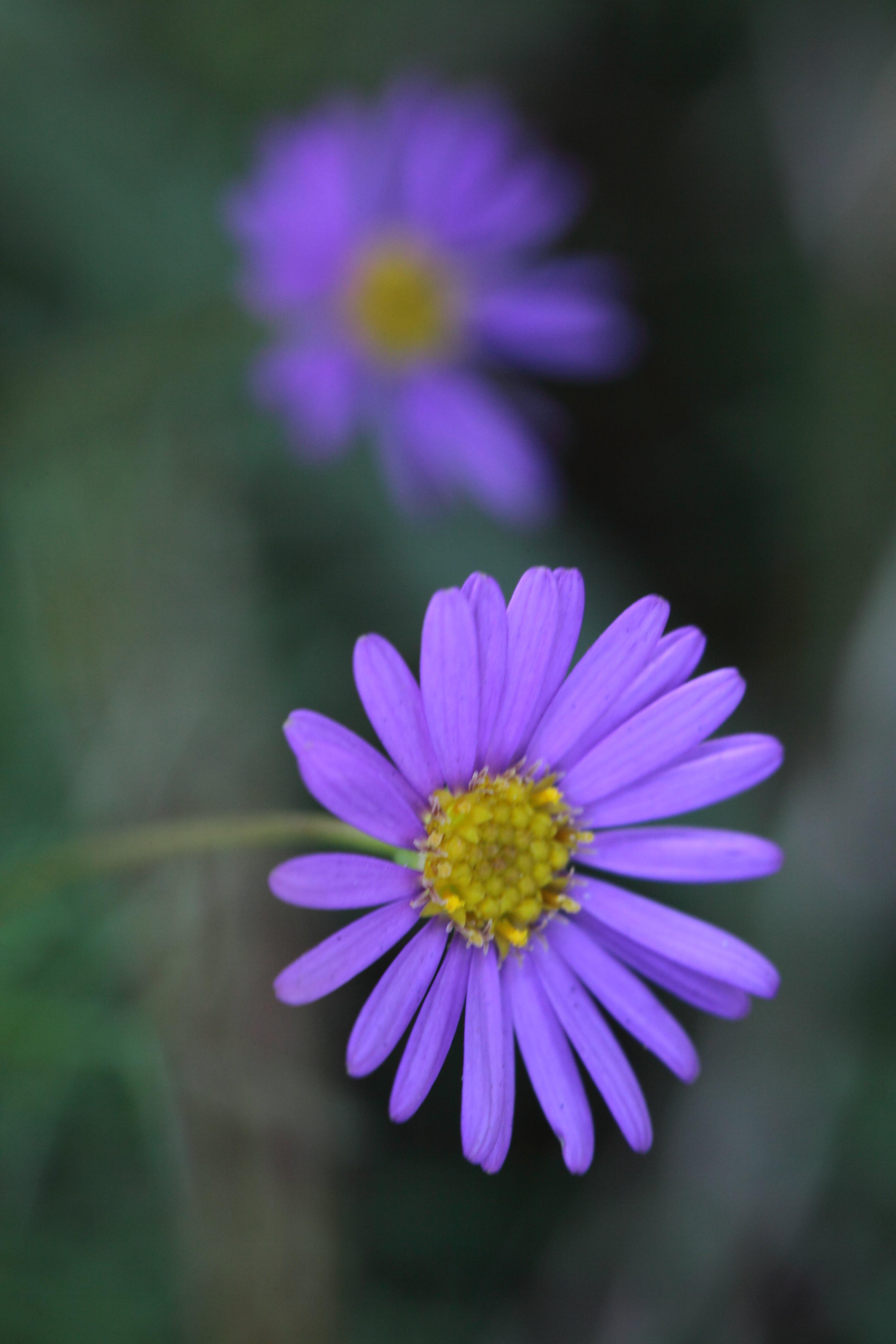 Close Up Photography of Purple Multi Petaled Flower