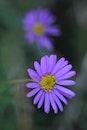 purple, flower, violet