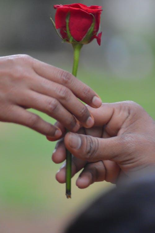 Fotos de stock gratuitas de flor rosa