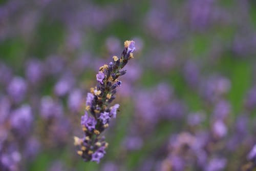 Ilmainen kuvapankkikuva tunnisteilla laventeli, puutarha