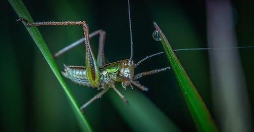 Δωρεάν στοκ φωτογραφιών με macro, ακρίδα, γκρο πλαν, γρασίδι