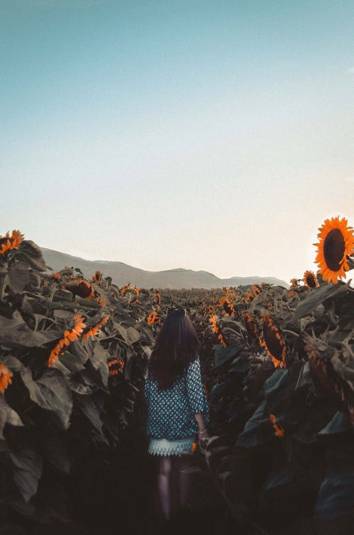 Woman Walking On Sunflower Field