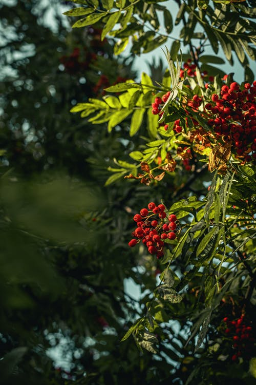 Red Berries Tree Thriving With Fruits