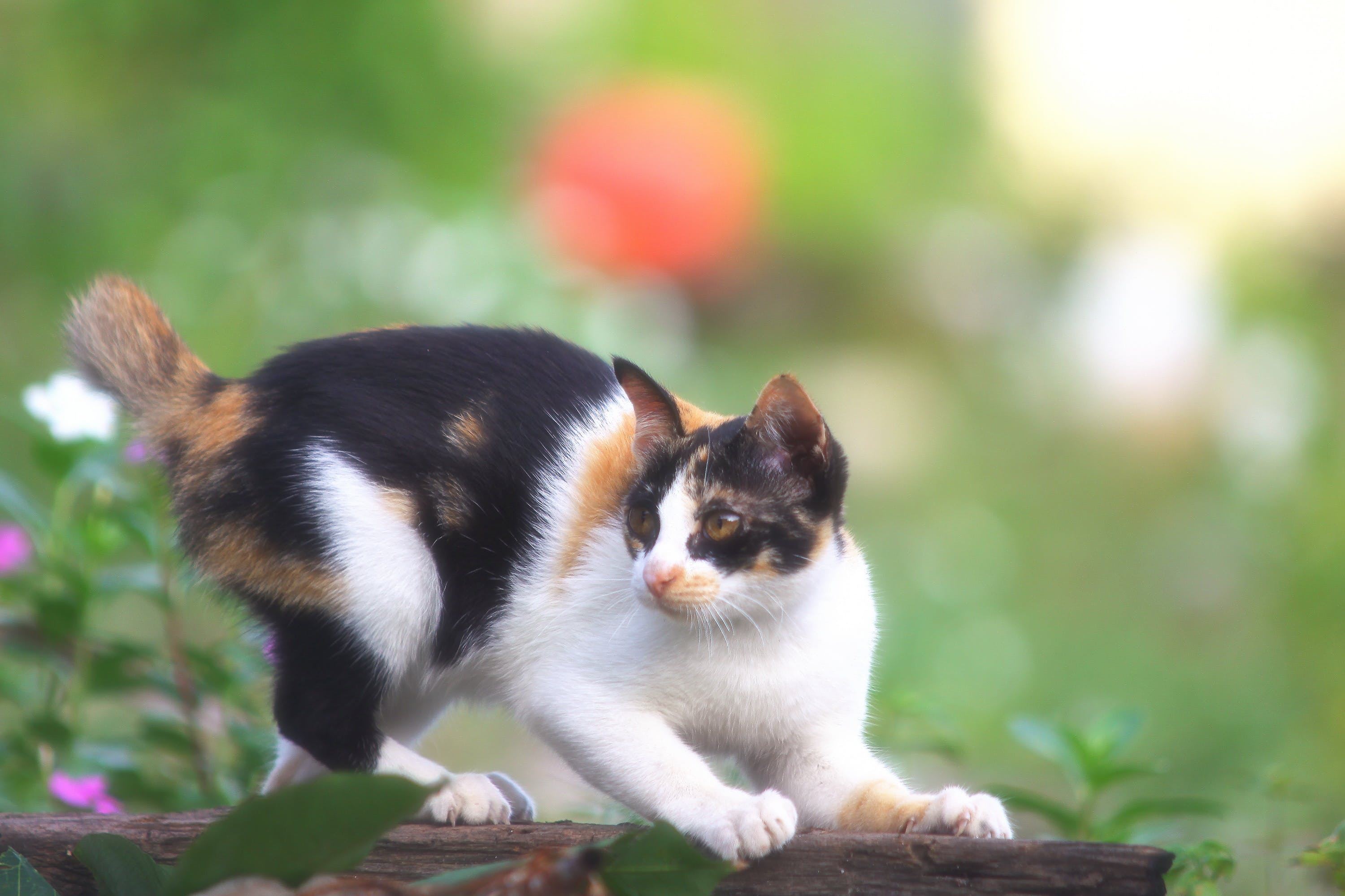 Selective Focus Photography of Calico Cat on Wood