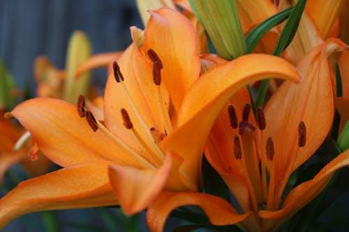 Immagine gratuita di fiori d'arancio