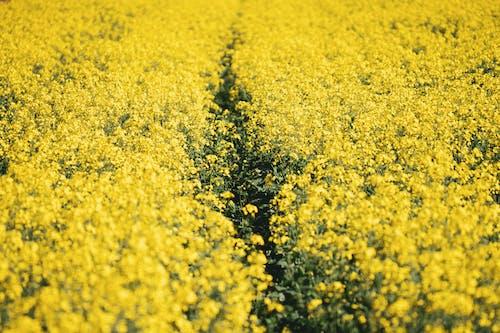 Gratis arkivbilde med arie, blomst, gård, olje